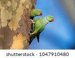 Ring Necked Parakeet ...