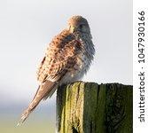 common kestrel  falco... | Shutterstock . vector #1047930166