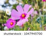 lovely pink flower cosmos in...   Shutterstock . vector #1047945700