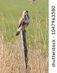common buzzard  buteo buteo  on ... | Shutterstock . vector #1047963580