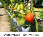 various shape and colour tomato ...   Shutterstock . vector #1047993268
