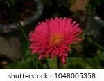 gerbera jamesonii gerbera... | Shutterstock . vector #1048005358