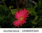 gerbera jamesonii gerbera... | Shutterstock . vector #1048005364