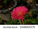 gerbera jamesonii gerbera... | Shutterstock . vector #1048005370