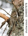Small photo of A Brown Creeper (Certhia americana) has a tail and claws made for clinging onto trees while they probe for insects