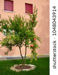 Pomegranate Tree Grows On Gree...