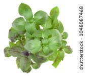 Small photo of Fresh sweet Corsican basil herbs bouquet isolated on white background cutout. Top view.