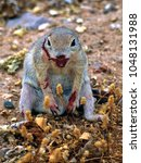 Small photo of A Ground Squirrel native to Arizona in a very angry and agitated state after having been in a vicious and bloody fight with a rival.