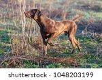a muscular chocolate brown...   Shutterstock . vector #1048203199