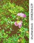 tea rose bush at inner yard in... | Shutterstock . vector #1048246129