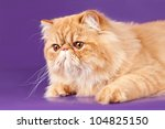 Red Persian Kitten On Violet...