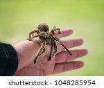 Hand Holding A Tarantula....