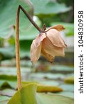 The Shot Of Withered Lotus...