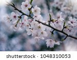 the cherry blossoms are in full ... | Shutterstock . vector #1048310053