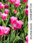 Small photo of Common Tulipa Liliaceae Tulip