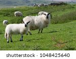 Welsh Hill Sheep And Lamb