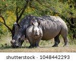 White Rhino And Baby White...