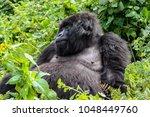 mountain gorilla in volcanoes... | Shutterstock . vector #1048449760