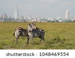 Zebras in Nairobi national park with Nairoby city in the background. Zebra puts head on back of other zebra in Nairobi, Kenya.