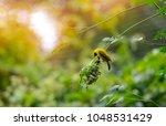 weaver bird  weaver finches ... | Shutterstock . vector #1048531429