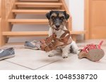 Stock photo little cute obedient dog holds a shoe by clicker training jack russell terrier years old 1048538720