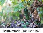 the last crop of cucumbers in... | Shutterstock . vector #1048544459