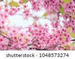 pink sakura flower bloom in... | Shutterstock . vector #1048573274