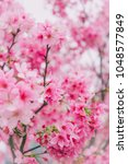 sakura in taiwan is blooming in ... | Shutterstock . vector #1048577849