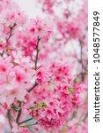 sakura in taiwan is blooming in ... | Shutterstock . vector #1048577849