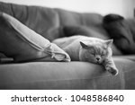 Stock photo a british short hair cat sleeps beside a cushion on a sofa in a house in edinburgh scotland uk 1048586840