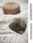 Stock photo a british short hair cat curled up sleeping on a bed beside a wicker stool seat in edinburgh 1048586939