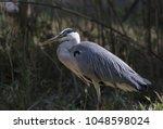 grey heron ardea cinerea | Shutterstock . vector #1048598024