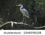 grey heron ardea cinerea | Shutterstock . vector #1048598108