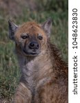 old hyena staring at possible... | Shutterstock . vector #1048623830