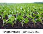 growing vegetables in a... | Shutterstock . vector #1048627253