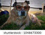 Funny Dog In Sunglasses