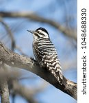 Female Ladder Backed Woodpecker