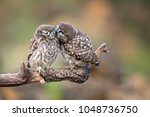 Stock photo two young little owls athene noctua sitting in pairs on a stick 1048736750
