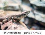 zonosaurus maximus madagascar...   Shutterstock . vector #1048777433