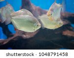 a shoal of piranha fish  with... | Shutterstock . vector #1048791458
