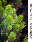 Small photo of coniferous tree with kidneys