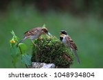 Small photo of Yellow-throated bunting, The yellow-throated bunting (Emberiza elegans), also known as the elegant bunting, is a species of bird in the Emberizidae family.