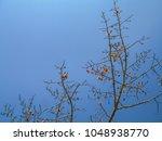 red silk cotton  bombax ceiba ... | Shutterstock . vector #1048938770