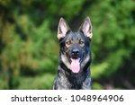 sable german shepherd close up... | Shutterstock . vector #1048964906