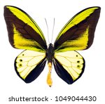 ornithoptera goliath is a large ... | Shutterstock . vector #1049044430