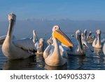 dalmatian pelicans  big birds | Shutterstock . vector #1049053373