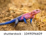 the male mwanza flat headed... | Shutterstock . vector #1049096609