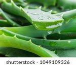 Aloe Or Aloe Vera Fresh Leaves...