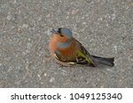 Small photo of A chaffinch songs his song