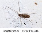 Small photo of Limoniidae sp posed on a white wall